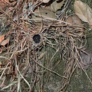 Turret Spider (Antrodiaetus riversi) lurks near top of a grass-skirted turret. © 2010  Debbi Brusco
