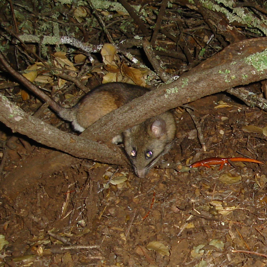Right under the feet of the landlord, a yellow-eyed ensatina (Ensatina eschscholtzii xanthoptica) heads into a dusky-footed woodrat (Neotoma fuscipes) stick house.   © 2011 K. Hickman