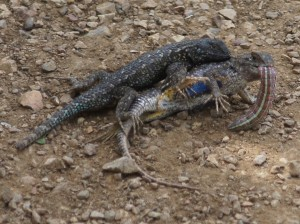 Western Fence Lizards wrestle for possession of juicy caterpillar.