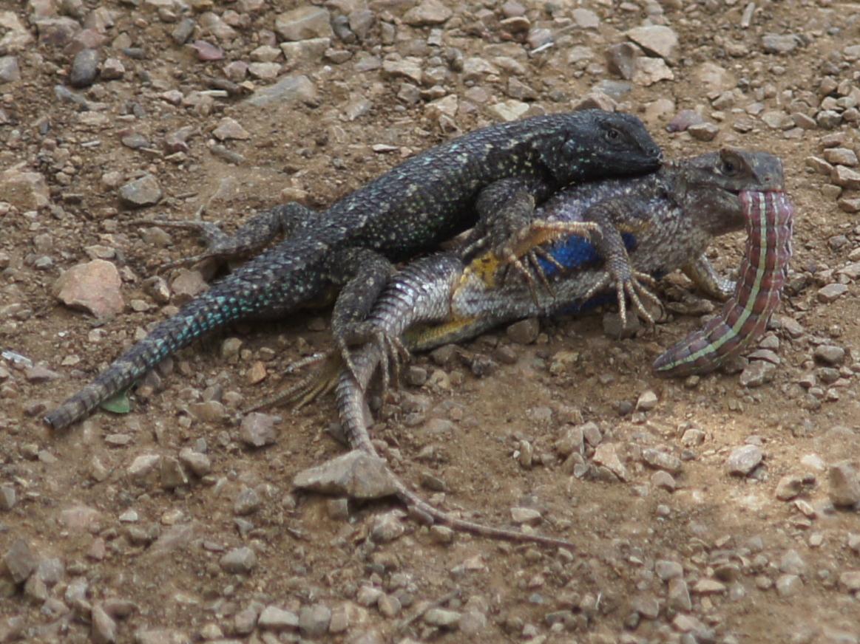 Western Fence Lizard – Friends of Edgewood