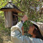 Frances Morse inspecting bluebird box
