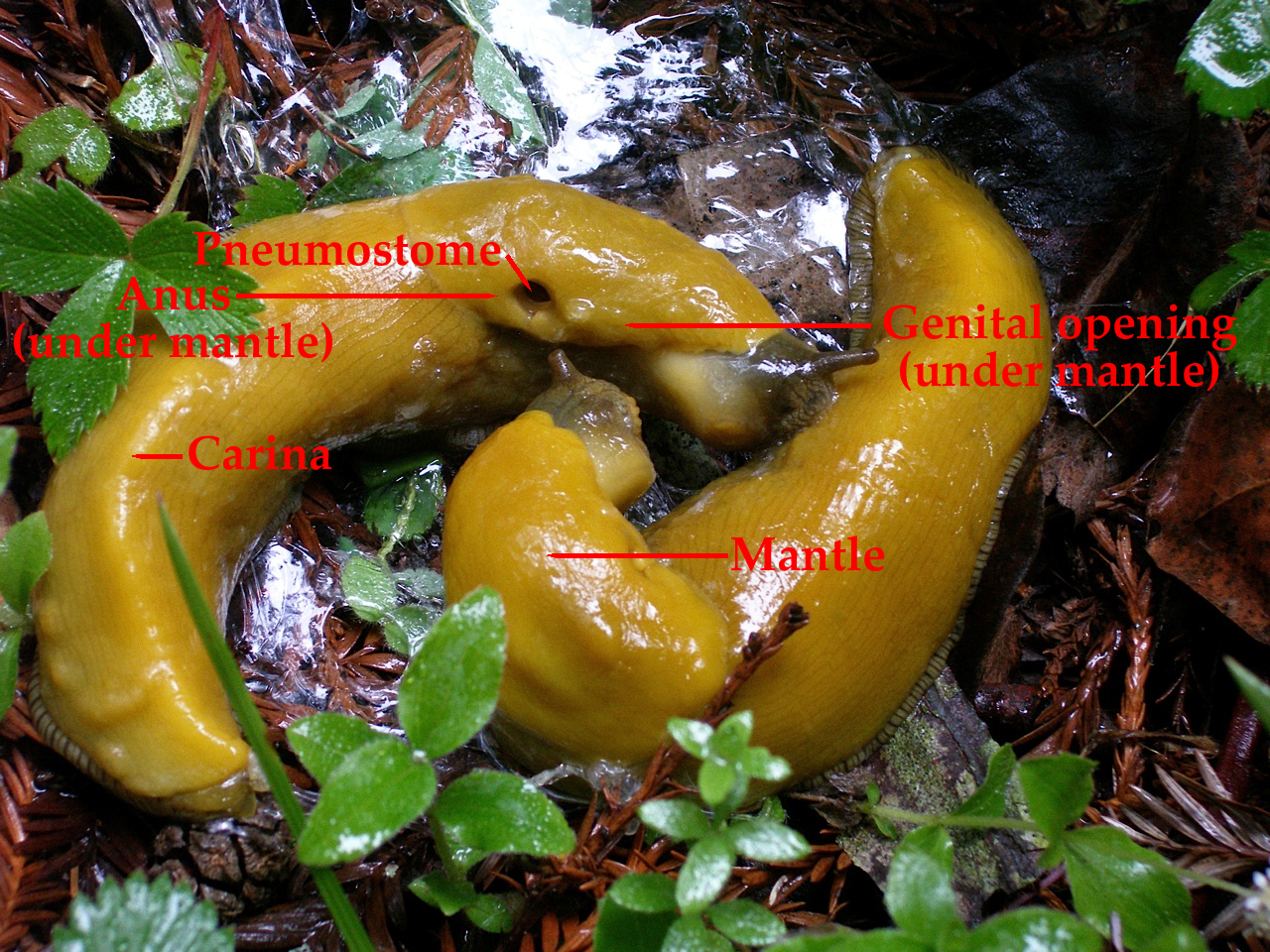 Banana slug morphology.