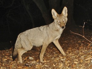 Camera trap captures a young coyote at Edgewood. Note the greyish-brown dorsal fur color and black-tipped tail. © 2013 K. Hickman