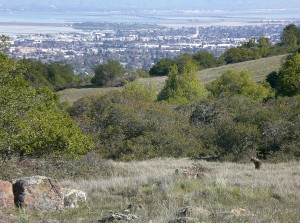 A coyote (lower right) enjoys the view of San Francisco Bay from the grasslands of Edgewood Park. CC 2008 L. Alexander