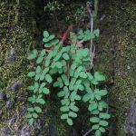 Coffee fern