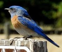 Western bluebird © 2013 Thanh Mougeot