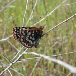 http://www.friendsofedgewood.org/bay-checkerspot-butterfly