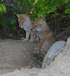 Coyote pups at Edgewood