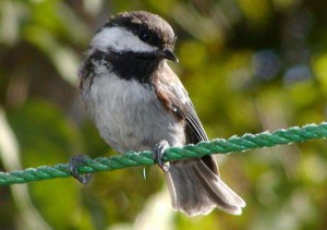 Chestnut-backed Chickadee on perch