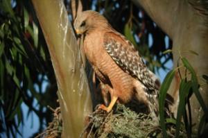 Red-shouldered hawk on nest