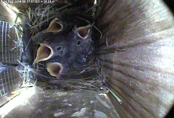 Four hungry Western Bluebird babies in nest